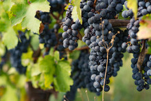 Vine Grapes In The Vineyard During Harvest, Kakheti, Georgia