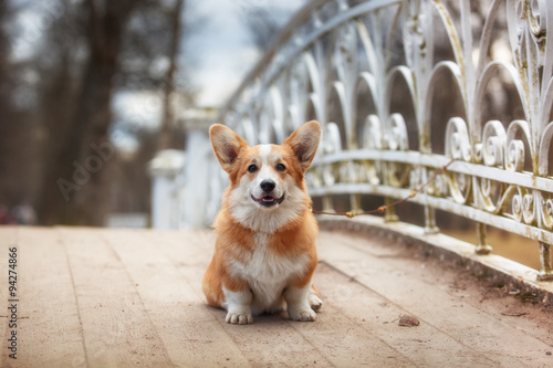 Dog breed Welsh Corgi Pembroke Canvas Print