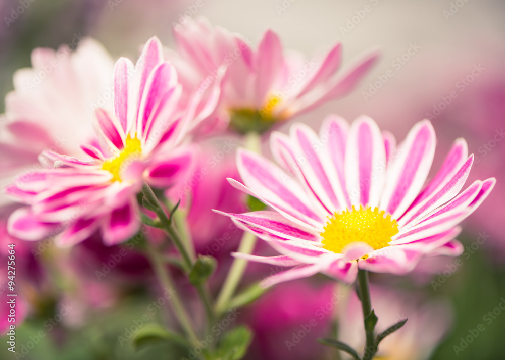Fototapety, obrazy: striped colorful flowers at abstract background