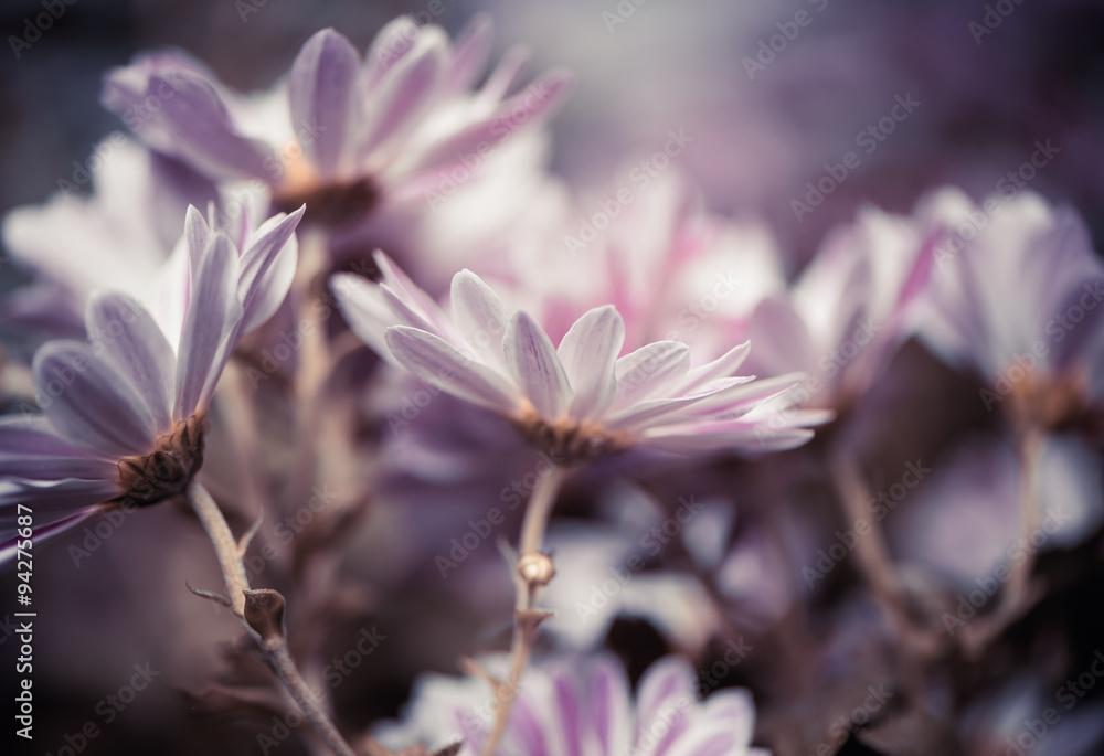 Fototapety, obrazy: fresh fall garden flowers at abstarct background