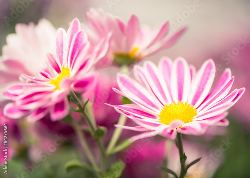 Fototapeta striped colorful flowers at abstract background obraz
