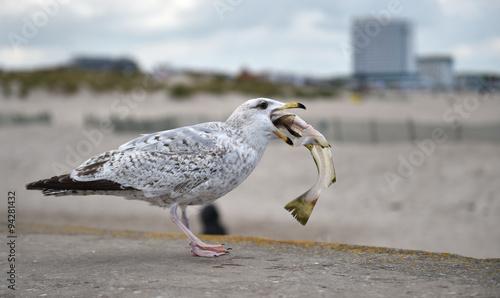 Fotografija  Möwe frisst Fisch