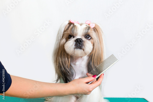 Fotografía  Little beauty shih-tzu dog at the groomer's hand