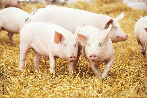 Fotografie, Obraz  piglets on hay and straw at pig breeding farm