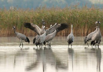Fototapeta Zwierzęta A group of cranes (Grus Grus) in the morning standing in the lake