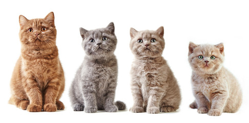 various british kittens