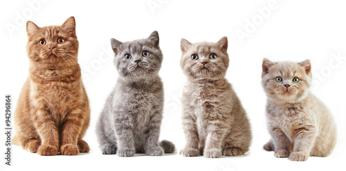Photo  various british kittens