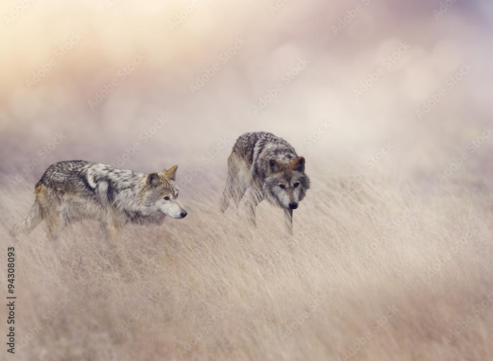 Fotografía Dos lobos en la hierba alta | Europosters.es