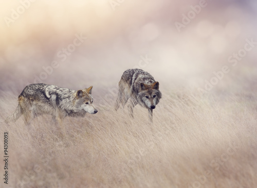 Two Wolves in Tall Grass плакат
