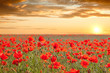 Beautiful poppy field landscape with golden sky, sun and