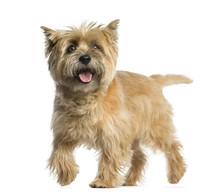 Cairn Terrier Walking In Front...