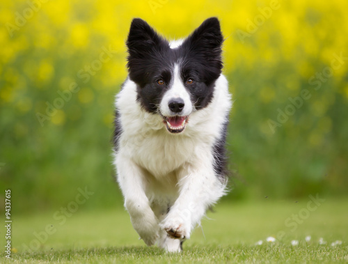 Happy and smiling Border Collie dog running - 94337615
