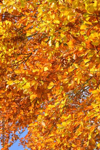 Deurstickers Berkbosje bunte Herbstblätter am Baum