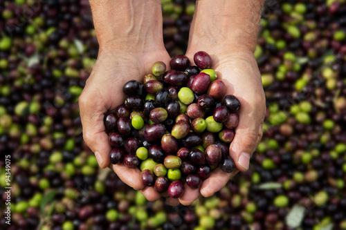 olive, raccolta delle olive, olio extravergine