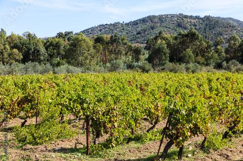 Vineyard Sardinië, wijngaard