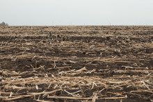 Image Of End Of The Summer, Dried Corn After Harvesting.