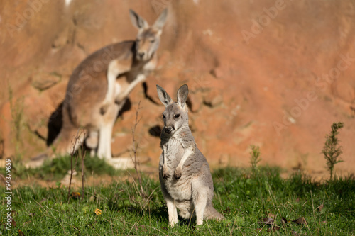 Foto op Canvas Kangoeroe red kangaroo