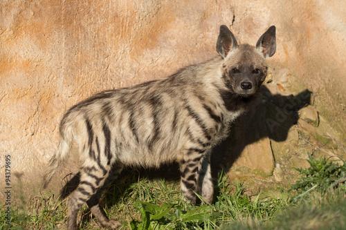 Poster Hyène Striped hyena (Hyaena hyaena)