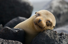Portrait Of Sea Lion Lying  In The Galapagos. Islands. An Excellent Illustration. Close-up.