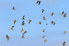 Flock Of Eurasian Curlews (Num...