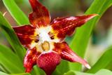 Orchidea in a garden in Mindo, Ecuador