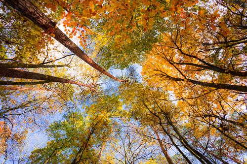 Korony drzew jesienią - fototapety na wymiar