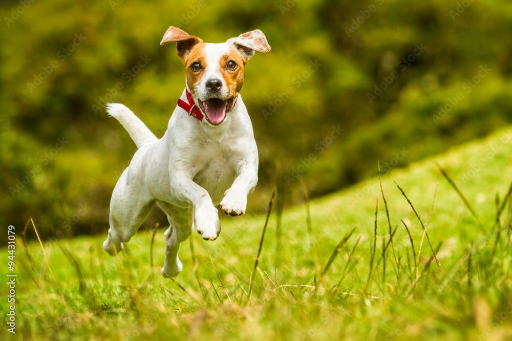 Fototapety, obrazy: Jack Russell Parson Terrier Dog
