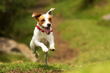 Dog Happy Jump Russel Jack Run Fetch Pet Terrier Puppy Cheerful Hound Moving To The Camera Low Angle High Velocity Shot Dog Happy Jump Russel Jack Run Fetch Pet Terrier Puppy Satisfied Running Play C