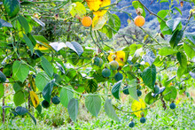 Granadilla Fruit Cultivation In Ecuador Andes Mountains Also A Passion Fruit Plantation Weed Harvest Outside Ecuador Vines Exotic Summit Scene Natural Yellow Nourishment Ecological Rich Andes Leaf Fr