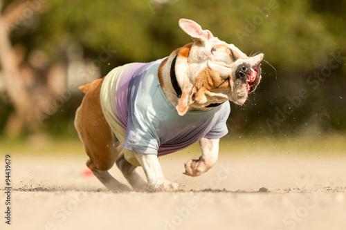 crazy dog animal goofy funny shake hilarious run playing pet female english bull Canvas Print