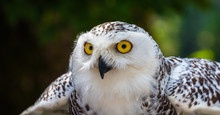 Detail Of Head Of Snowy Owl Wi...