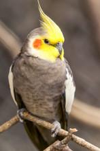 Cockatiel Nymphicus Bird Holla...