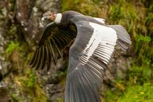 Condor Andean Gryphus Vultur E...