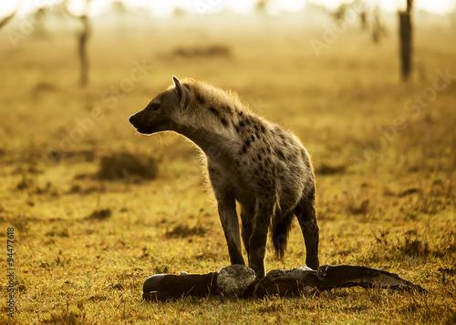 In de dag Hyena Hyena with meat