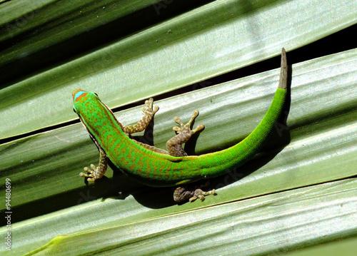 fototapeta na drzwi i meble Gecko resting in U shape