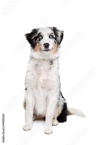 australijski-pies-pasterski