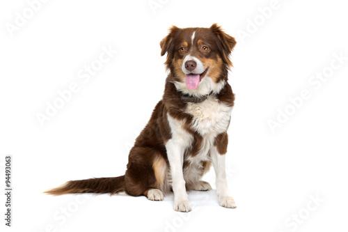 Keuken foto achterwand Hond australian shepherd dog