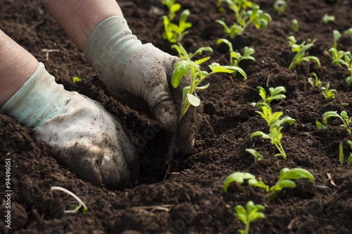 Fotografía  Image of male hands transplanting young plant