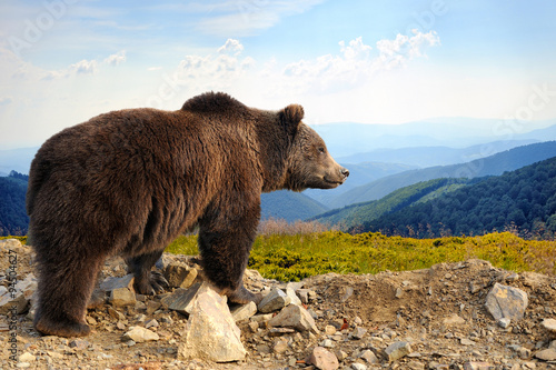 Photo  Brown bear