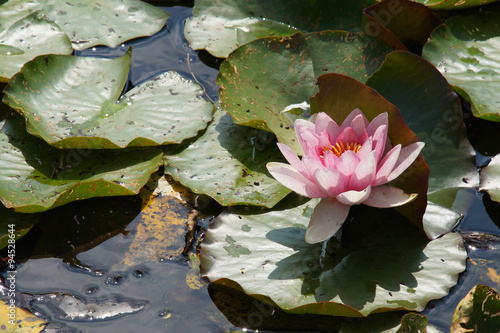 Deurstickers Waterlelies Seerosen