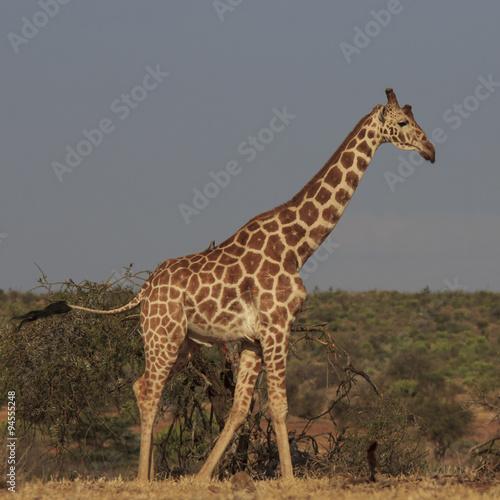 Staande foto Afrika Reticulated Giraffe