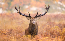 Large Red Deer Stag Walking To...