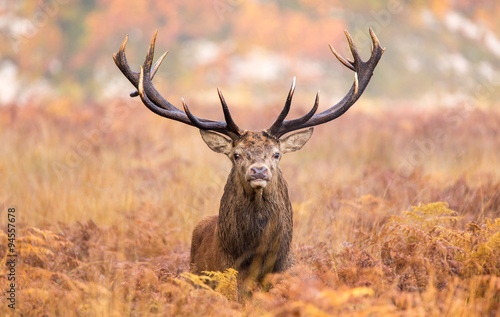 Large red deer stag walking towards the camera