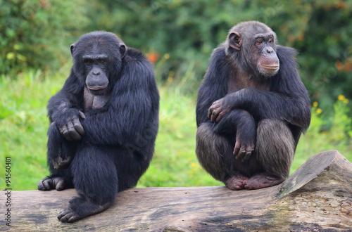 Leinwand Poster zwei Schimpansen