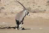 Gemsbok, Oryx gazela, Gemsbok National Park, South Africa