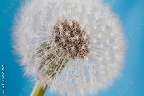 Fototapety, obrazy: Dandelion flower, blowball macro view