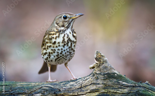 Obraz na plátně The Song thrush and the Branch