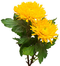 Two Yellow Chrysanthemum Flower