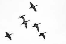 Flock Of Ducks Flying On A White Background