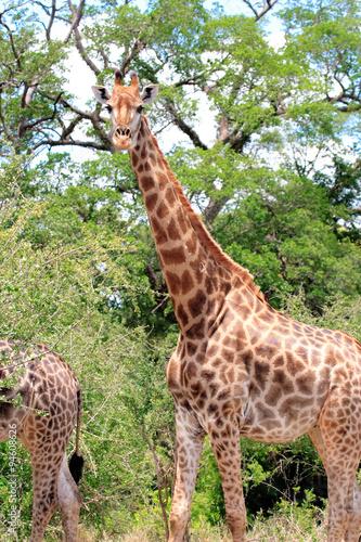 giraffe del sudafrica Poster